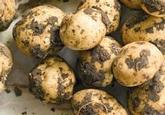"""title=""""Seed, Potatoes, 1kg"""" onmouseover=""""this.title=´´;"""""""