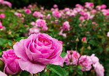 """title=""""roses, new seasons, patio bush"""" onmouseover=""""this.title=´´;"""""""