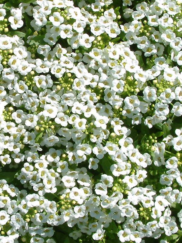 Oderings Potted Colour Alyssum Bedding Plant Extra Large Cers Of White Flowers