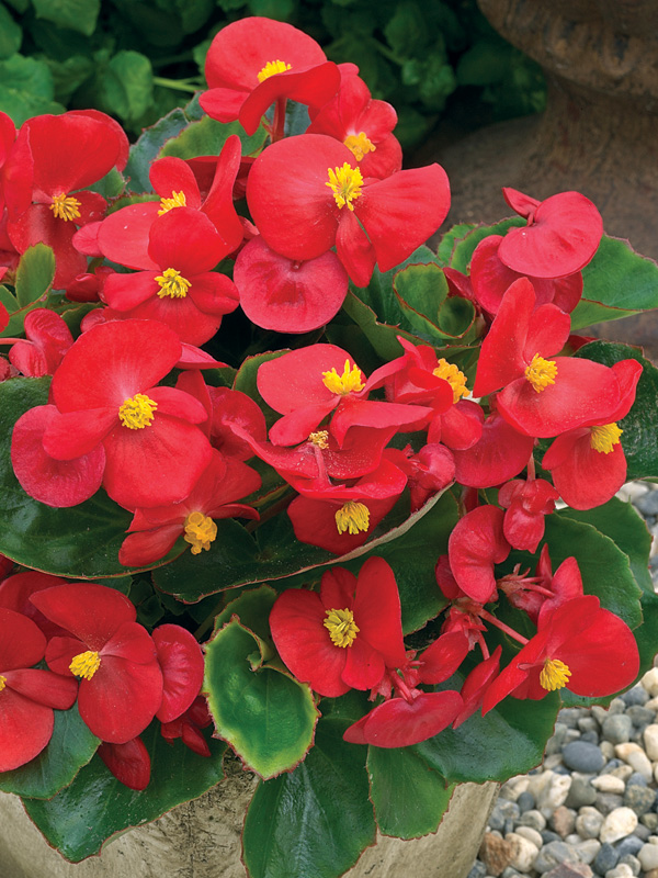 """Picture of Live Begonias Olympia Red Plant Fit 4"""" Pot"""