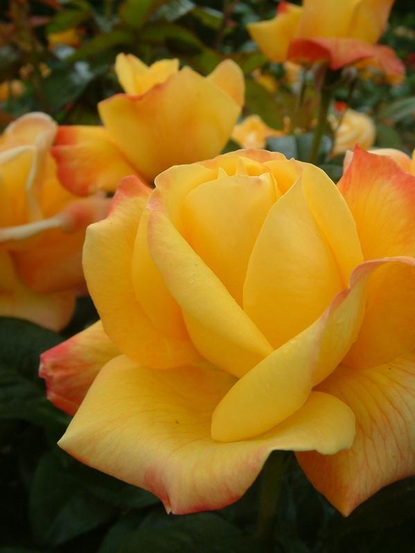 Oderings garden centre englishdavid austin bush rose graham thomas thecheapjerseys Images