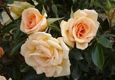 roses, new seasons, Patio Standard Roses