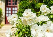 roses, bush, new seasons