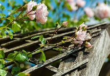 roses, climbing, new seasons