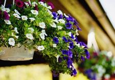 Oderings Garden Centres | Perennial Petunias